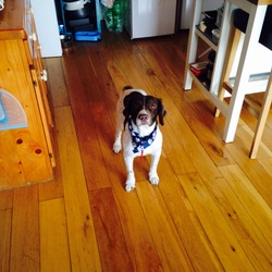 Lost dog on 31 Oct 2014 in Howth/Sutton. My dog Monty went missing at around 9pm on Friday Oct 31st. He is a brown and white Springer Spaniel wearing a red collar.