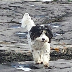 Lost dog on 31 Oct 2014 in Marino/Griffith Ave area. Black and white Springer Poodle cross missing from Griffith Ave/Marino area since 5 pm on 31st October. Very shy & would be terrified of noise and traffic.