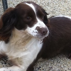 Found dog on 31 Oct 2015 in Colemanstown. Kess Liver & White 8 YEAR OLD Springer Spaniel, went missing from home on Sat 31 Oct. Very friendly dog.  REWARD OFFERED Please Contact  Mark 0879973281.
