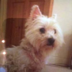 Reunited dog 31 Oct 2017 in Broadford Co. Kildare. Found by kind neighbour.Lost White West Highland Terrier, Female. Missing from Broadford, Co.Kildare.