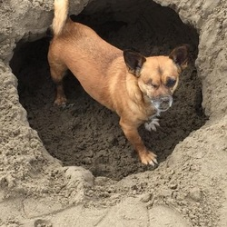 Lost dog on 31 Oct 2017 in Portmarnock . Brown dog with one eye. Looks like a terrier. 